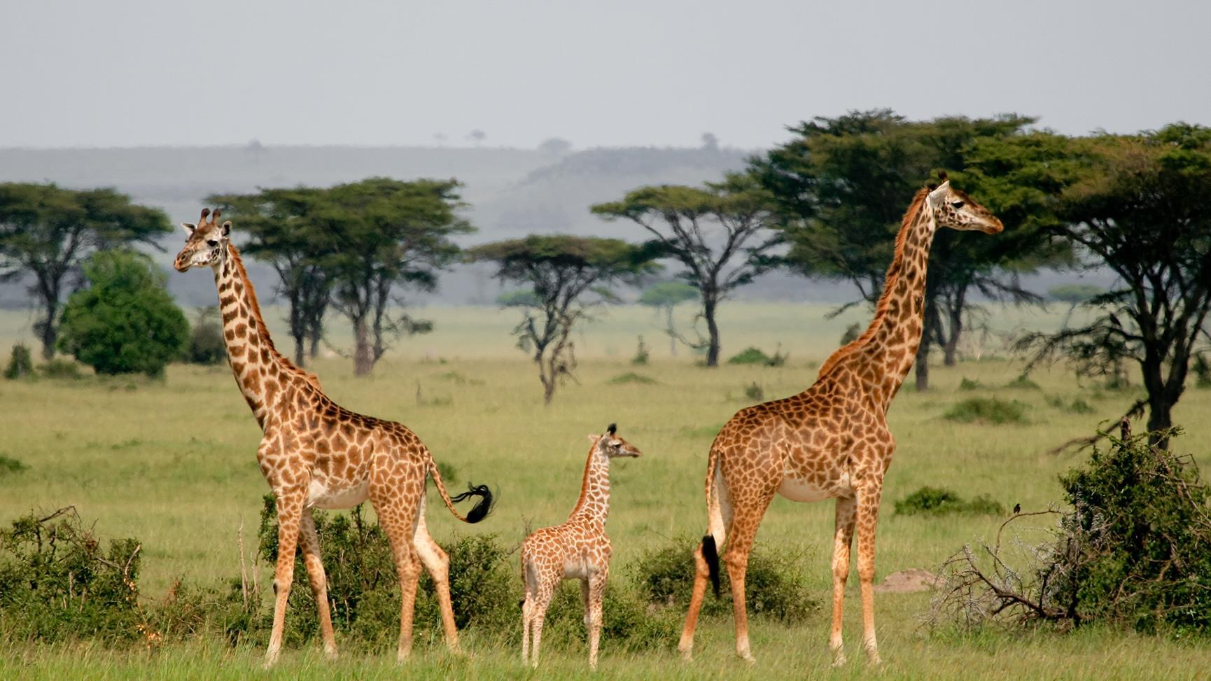 Beliebt La girafe s'ajoute à la liste des espèces menacées d'extinction  EZ76
