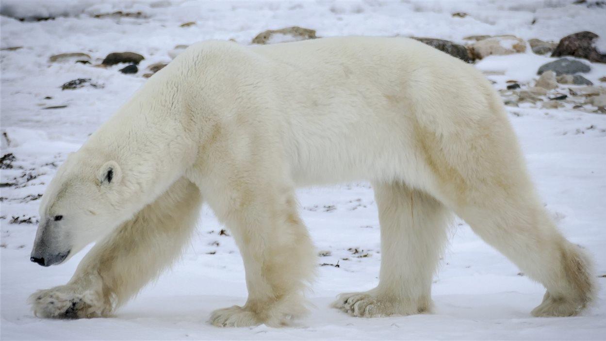 Souvent La population mondiale d'ours polaires risque l'extinction | ICI  RN89