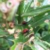 Deux criocères du lys, une sorte de coccinelle rouge, dévorent les feuilles d'une plante.