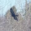 L'observation des aigles royaux se fait à compter du mois de mars lorsqu'ils reviennent dans la réserve Matane pour la période de nidification