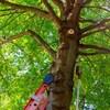 Un arbre, une échelle et un outil pour élaguer des branches.