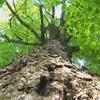 Un arbre de la forêt Cyriac vu d'en bas