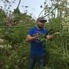 Un homme coupe des plants berce spondyle plus hauts que lui avec un séquateur.