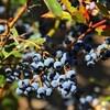 Des bleuets ensoleillés sur une branche.
