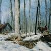 Un traîneau tiré par un cheval se dirige vers une cabane dans un boisé d'arbres entaillés munis de seaux.