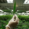 Une main gantée montre une feuille de cannabis dans une usine de production de cette plante.