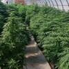 Plants de cannabis dans une serre.
