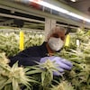 Le cultivateur de Boaz Pharmaceuticals regarde une fleur de cannabis au milieu des plantes.