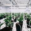 Des plants de cannabis dans une serre.