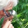 Un homme regarde à la loupe des feuilles de cannabis.