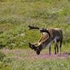 Un caribou broute l'herbe.