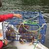 Un casier de pêche qui contient 6 crabes dormeurs.