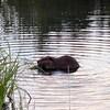 Un castor dans l'eau.