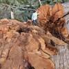 Une dame marche sur la souche d'un arbre géant, alors qu'elle en touche le tronc de sa main.