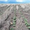Un champ de canola asséché en Saskatchewan.