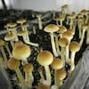 Plan serré d'une boîte remplie de terre où poussent des champignons hallucinogènes