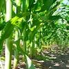 Un champ de maïs.