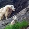 Deux chèvres des montagnes dans une zone montagneuse escarpée.