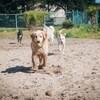 4 gros chiens courent vers la caméra.