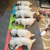 Six chiots en train de manger.