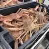 Des crabes dans un bac.