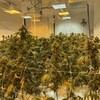 Des feuilles de cannabis dans une salle intérieure, sous des lumières.