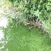 Une eau verdâtre et la présence d'algues au bord d'un lac.