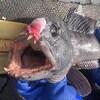 Un poisson mort portant des marques de blessure causées par un casier à homard abandonné.