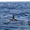 Un épaulard et des oiseaux à la surface de l'océan pacifique.