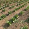 Des plants de légumes verts dans un champs.