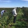Quatre travailleurs dans un champ de petits fruits.
