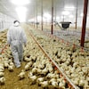 Vue en perspective à l'intérieur d'un vaste bâtiment où l'on élève des poulets, qui se comptent par milliers. Des abreuvoirs et des mangeoires sont disposés en rangées. On voit de dos une personne vêtue d'une combinaison de plastique blanche qui marche au milieu des jeunes poulets.