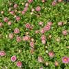 De petites fleurs dont les pétales sont organisées en rond.