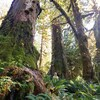 Andrea Inness regarde vers la cime d'arbres géants qui l'entourent et la dominent.