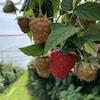 Gros plan de framboises cultivées sous serre à la Ferme horticole Gagnon.