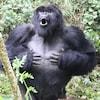 Un gorille des montagnes mâle qui frappe son torse.