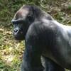 Un gorille des plaines de l'Ouest.