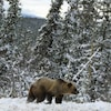 Un grizzly marche dans la neige.
