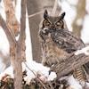Un grand duc est perché sur une branche en hiver.