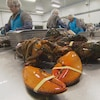 Des travailleurs dans une usine décortiquent des homards cuits.