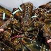 Plan rapproché de homards empilés avec des étiquettes autour de leurs pinces.