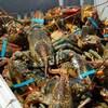 Dans un bac se trouvent plusieurs homards placés les uns par-dessus les autres. Leurs pinces sont attachées par un élastique.