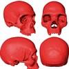 Illustration de l'apparence du crâne de l'Homo sapiens.