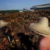 Des travailleurs, au milieu de fruits de palmiers à huile.