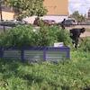 Un homme cueille des légumes alors que l'on voit l'un des bacs du jardin communautaire de l'école secondaire Gordon Bell de Winnipeg.