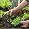Un homme plante des pousses de salade dans un bac de terre.