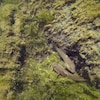 Le gobie à taches noires est une espèce envahissante, retrouvée dans le fleuve Saint-Laurent depuis les années 2000.
