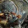 Gros plan sur le corps du dendroctone du pin, un coléoptère qui cause des ravages dans les forêts de l'ouest canadien.