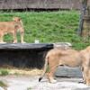 Lions au Zoo de Granby.