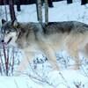 Plan serré d'un loup marchant dans la neige.